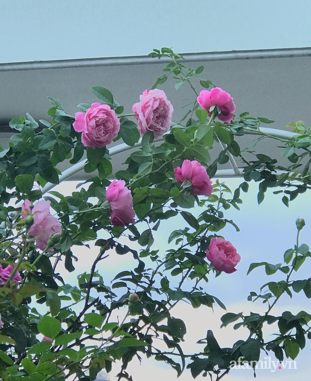 Sân thượng hoa hồng rực rỡ khoe sắc những ngày chớm thu của bà mẹ đảm ở Sài Gòn - Ảnh 28.
