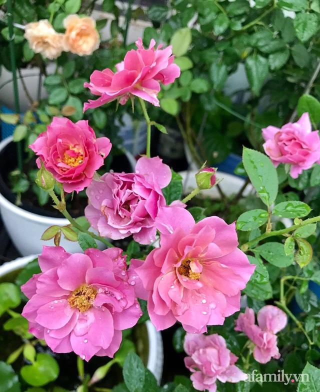 Sân thượng hoa hồng rực rỡ khoe sắc những ngày chớm thu của bà mẹ đảm ở Sài Gòn - Ảnh 5.