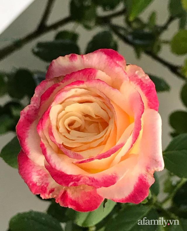 Sân thượng hoa hồng rực rỡ khoe sắc những ngày chớm thu của bà mẹ đảm ở Sài Gòn - Ảnh 6.