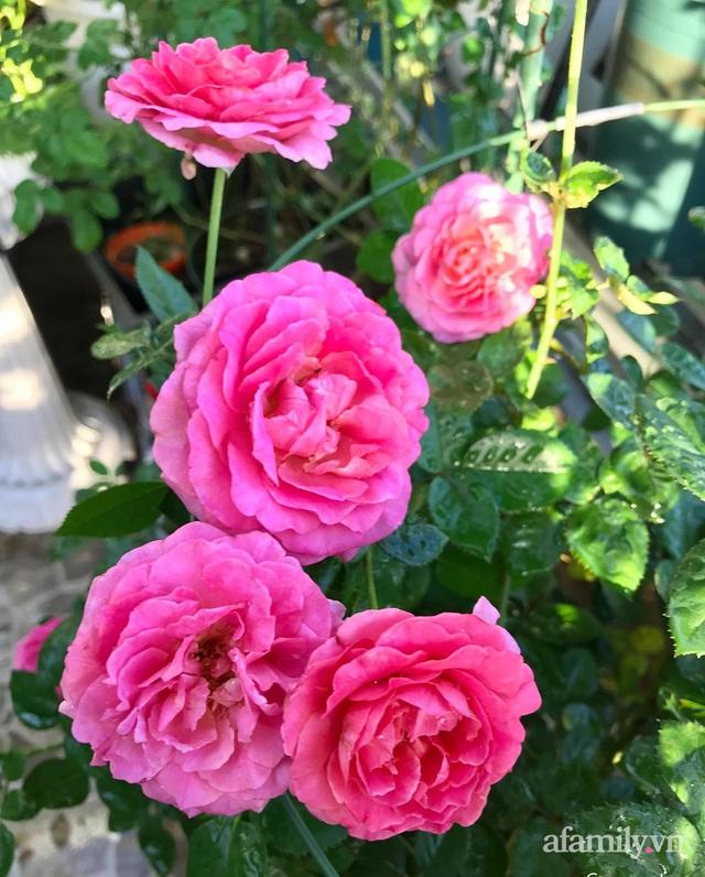 Sân thượng hoa hồng rực rỡ khoe sắc những ngày chớm thu của bà mẹ đảm ở Sài Gòn - Ảnh 7.
