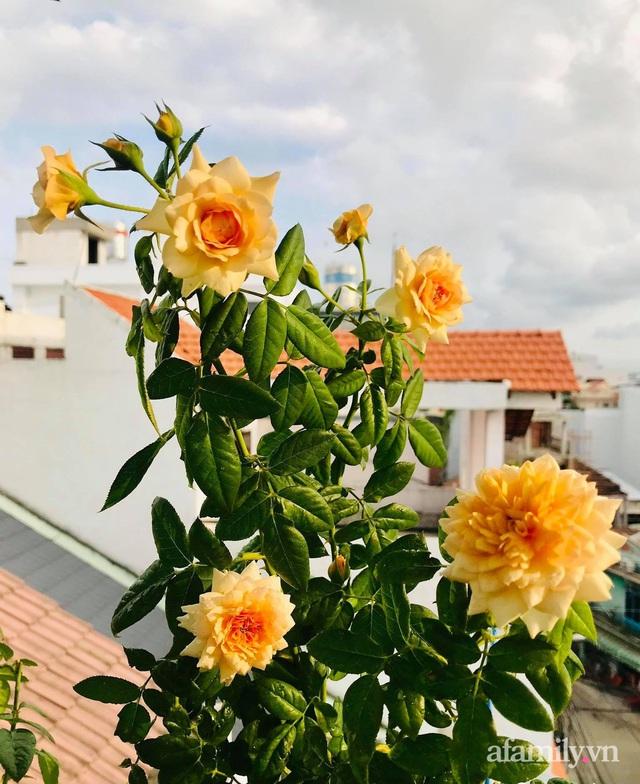 Sân thượng hoa hồng rực rỡ khoe sắc những ngày chớm thu của bà mẹ đảm ở Sài Gòn - Ảnh 9.