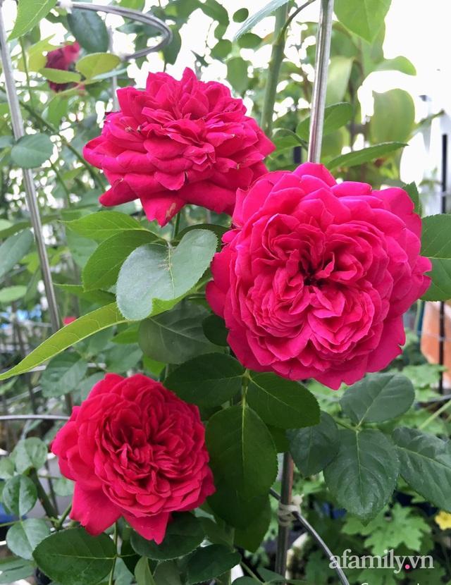 Sân thượng hoa hồng rực rỡ khoe sắc những ngày chớm thu của bà mẹ đảm ở Sài Gòn - Ảnh 10.