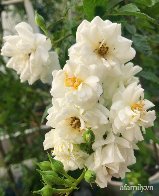 Sân thượng hoa hồng rực rỡ khoe sắc những ngày chớm thu của bà mẹ đảm ở Sài Gòn - Ảnh 11.