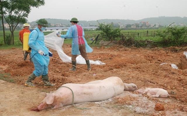 Quý 3/2021, Việt Nam sẽ có vaccine dịch tả lợn châu Phi - Ảnh 2.