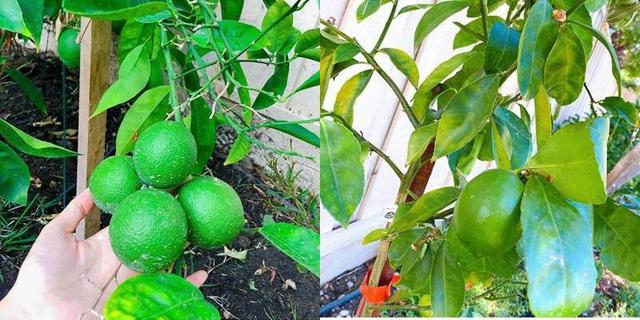 Phạm Hương chăm được một khu vườn trĩu quả bên Mỹ mà bất cứ nông dân thành phố nào cũng phải mê - Ảnh 2.