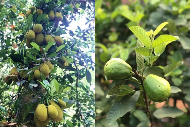 Kiều Trinh thu hoạch mỏi tay sau một năm làm vườn ở Bình Phước - Ảnh 7.