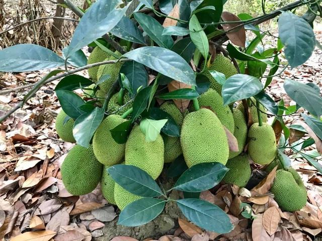 Kiều Trinh thu hoạch mỏi tay sau một năm làm vườn ở Bình Phước - Ảnh 8.