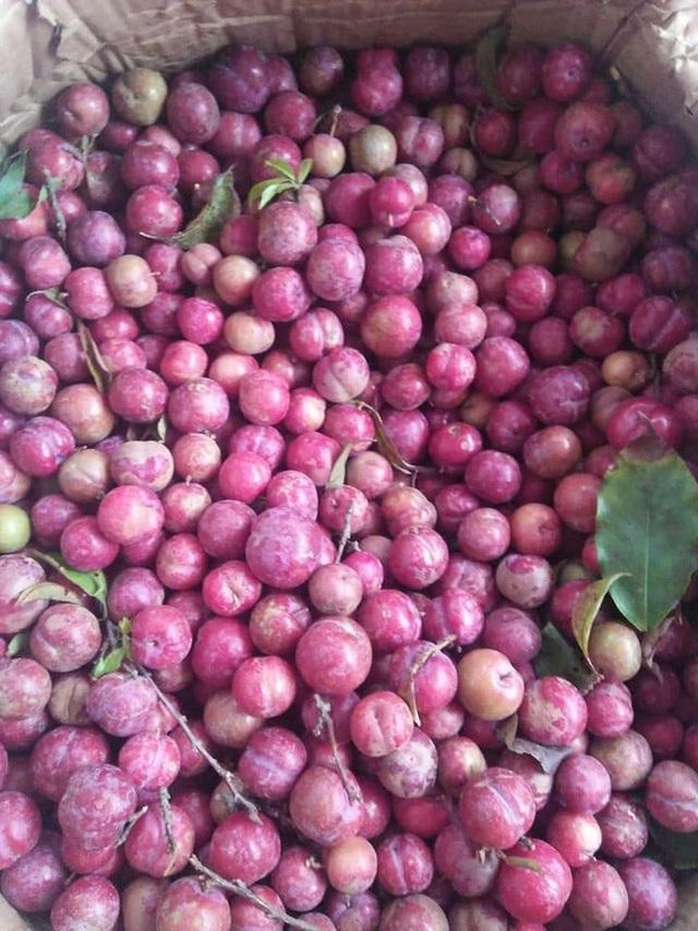 Loạn giá mận Mộc Châu trái mùa bán trên chợ mạng, tiểu thương nhét túi vài triệu/ngày - Ảnh 7.