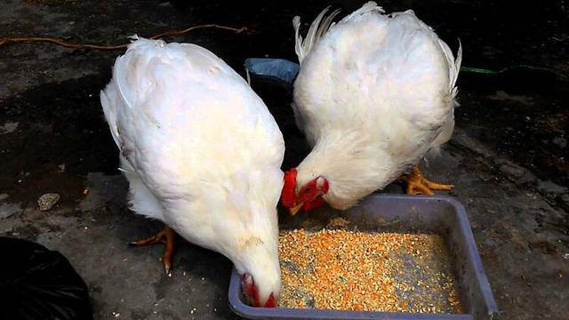 Giá gà rẻ hơn rau vẫn khó tiêu thụ - Ảnh 2.