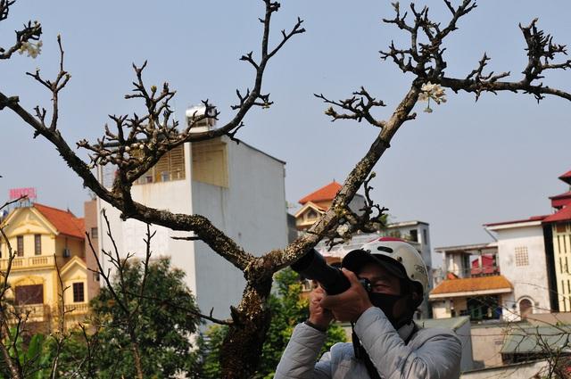 Hoa lê rừng về phố khiến người Hà Nội lạ lẫm, ngỡ ngàng - Ảnh 10.