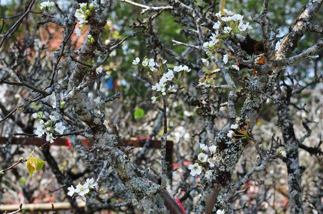 Hoa lê rừng về phố khiến người Hà Nội lạ lẫm, ngỡ ngàng - Ảnh 4.