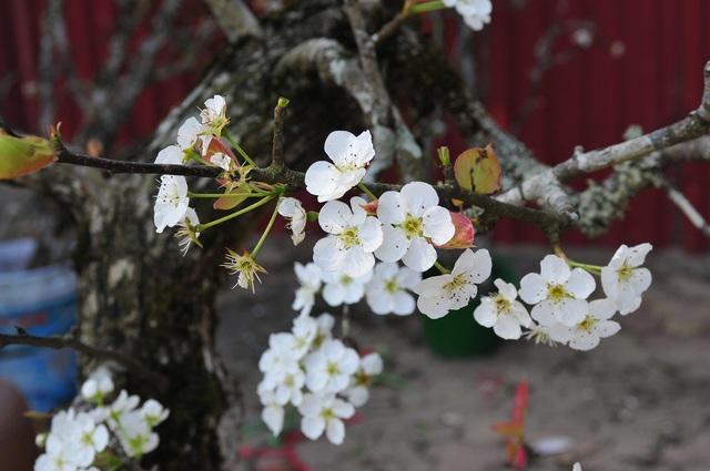 Hoa lê rừng về phố khiến người Hà Nội lạ lẫm, ngỡ ngàng - Ảnh 6.