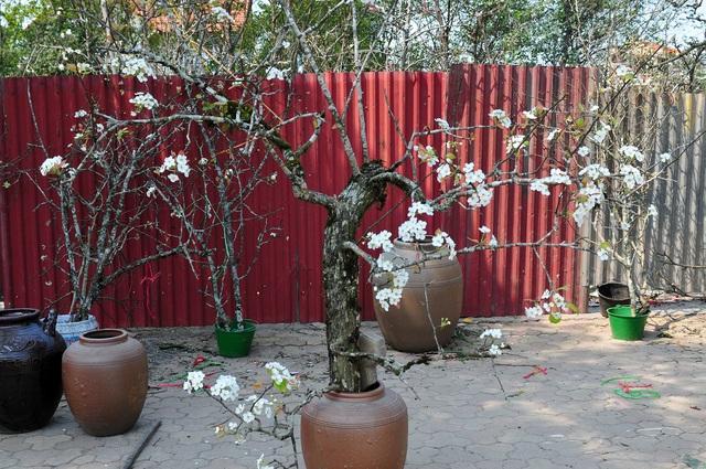 Hoa lê rừng về phố khiến người Hà Nội lạ lẫm, ngỡ ngàng - Ảnh 11.