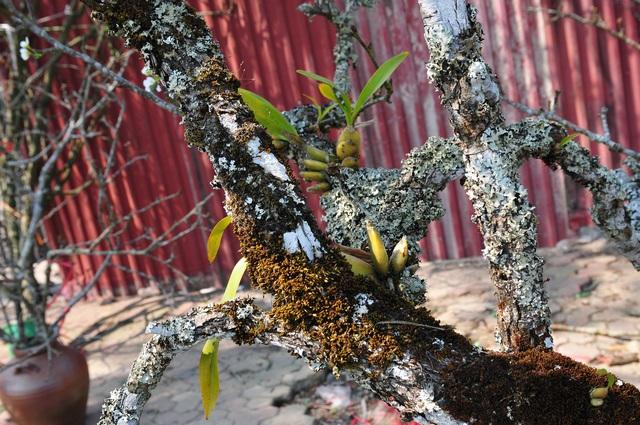 Hoa lê rừng về phố khiến người Hà Nội lạ lẫm, ngỡ ngàng - Ảnh 3.