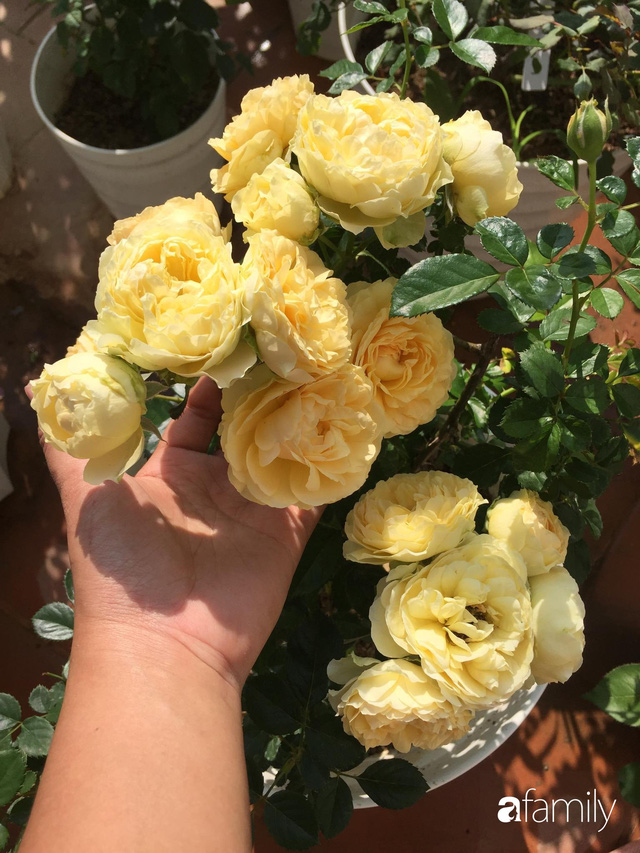 Mê hoa hồng, cô gái trẻ xứ Huế quyết tâm thức khuya dậy sớm tạo cả khu vườn hồng rực rỡ trên sân thượng - Ảnh 8.
