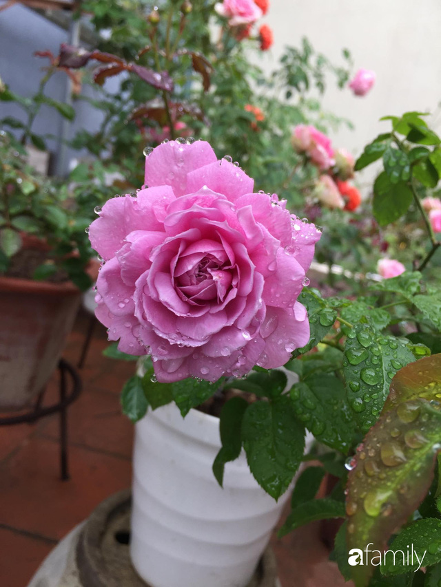 Mê hoa hồng, cô gái trẻ xứ Huế quyết tâm thức khuya dậy sớm tạo cả khu vườn hồng rực rỡ trên sân thượng - Ảnh 11.