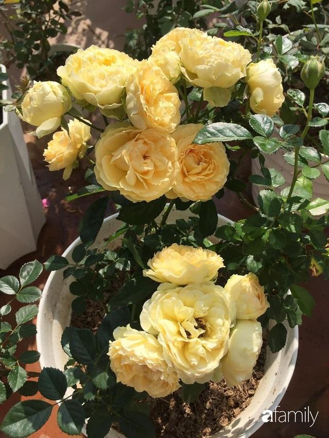 Mê hoa hồng, cô gái trẻ xứ Huế quyết tâm thức khuya dậy sớm tạo cả khu vườn hồng rực rỡ trên sân thượng - Ảnh 12.