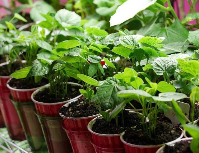 Con gái tặng mẹ vườn rau Việt trên đất Mỹ  - Ảnh 5.