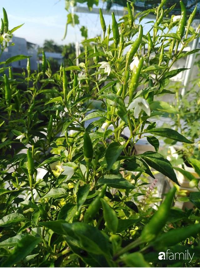 Sân thượng 25m² xanh tốt đủ rau quả quanh năm của cô giáo dạy Toán ở Quảng Ngãi - Ảnh 31.