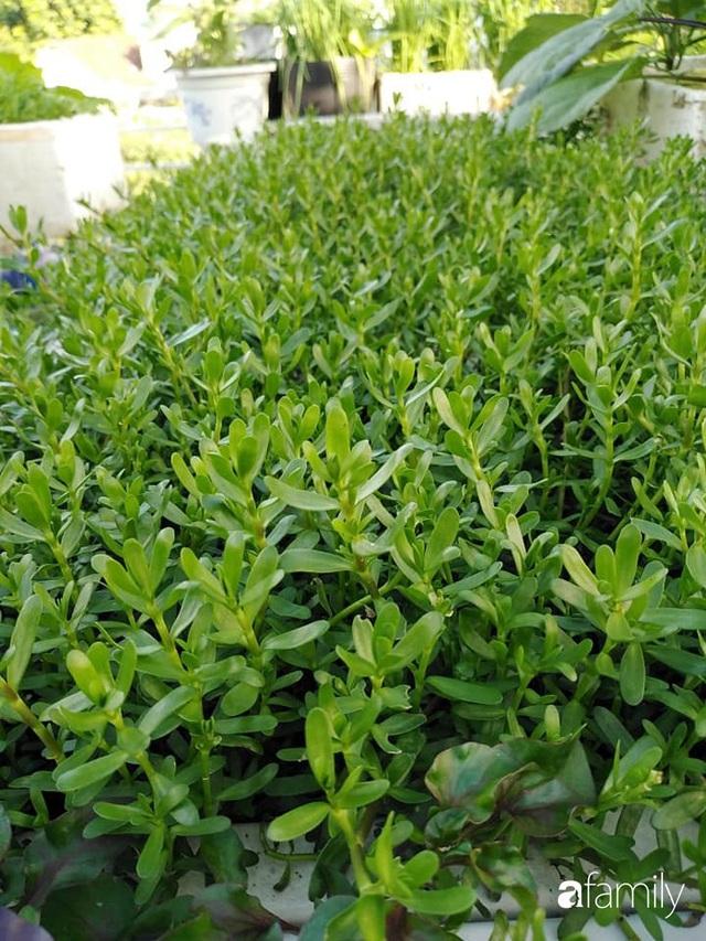 Sân thượng 25m² xanh tốt đủ rau quả quanh năm của cô giáo dạy Toán ở Quảng Ngãi - Ảnh 5.