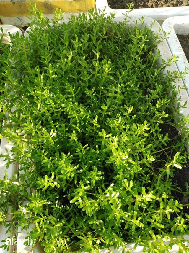 Sân thượng 25m² xanh tốt đủ rau quả quanh năm của cô giáo dạy Toán ở Quảng Ngãi - Ảnh 34.