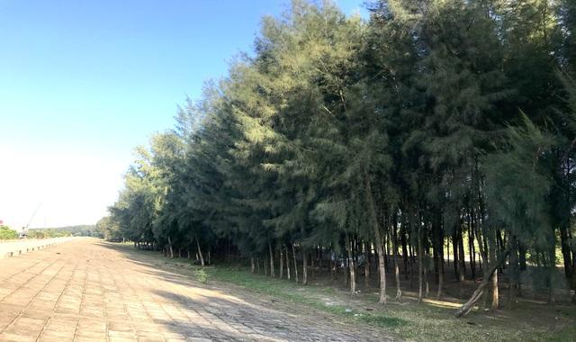 Đa Lộc, Hậu Lộc, Thanh Hóa: Nỗi lo rừng chắn sóng ven biển biến mất - Ảnh 1.