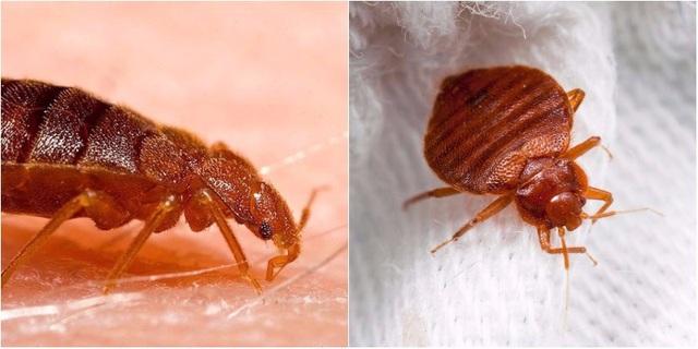 Rệp giường là 1 trong 10 loại côn trùng gây hại bậc nhất, đây là cách tiêu diệt chúng - Ảnh 2.