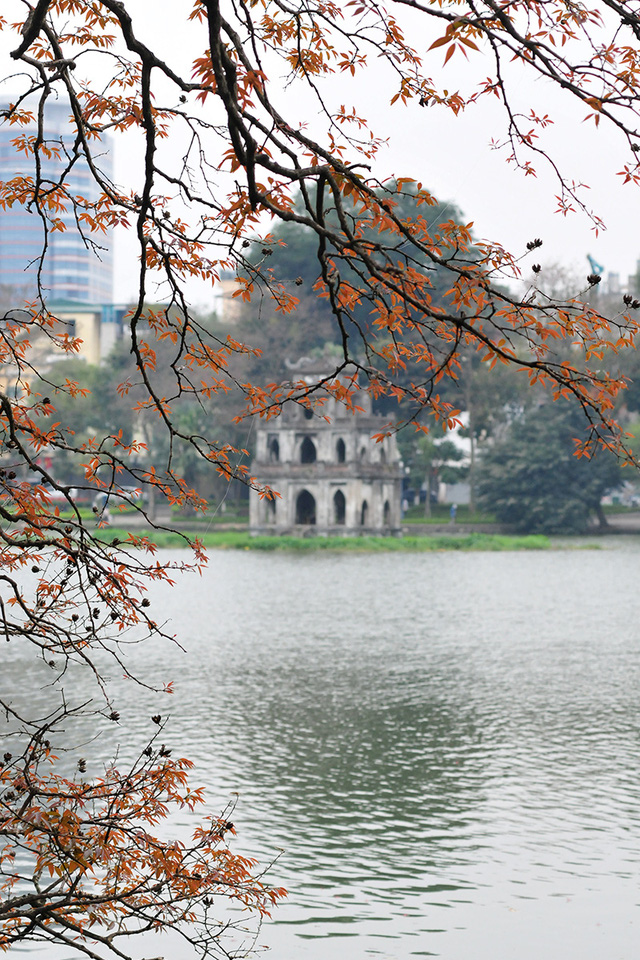 Dân chụp ảnh mê mẩn với cây bằng lăng huyền thoại bên Hồ Gươm đang thay lá - Ảnh 3.