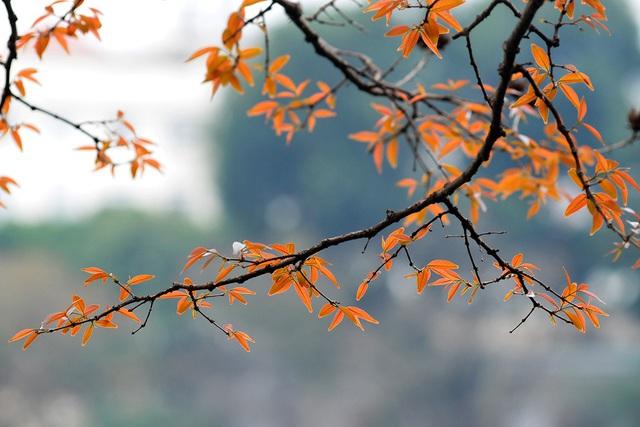 Dân chụp ảnh mê mẩn với cây bằng lăng huyền thoại bên Hồ Gươm đang thay lá - Ảnh 5.