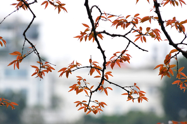 Dân chụp ảnh mê mẩn với cây bằng lăng huyền thoại bên Hồ Gươm đang thay lá - Ảnh 4.