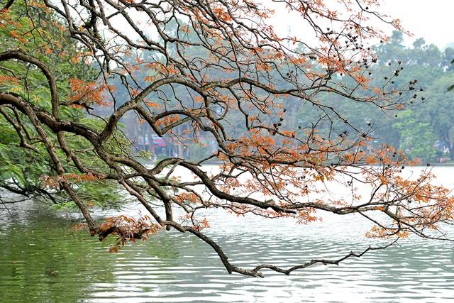 Dân chụp ảnh mê mẩn với cây bằng lăng huyền thoại bên Hồ Gươm đang thay lá - Ảnh 2.