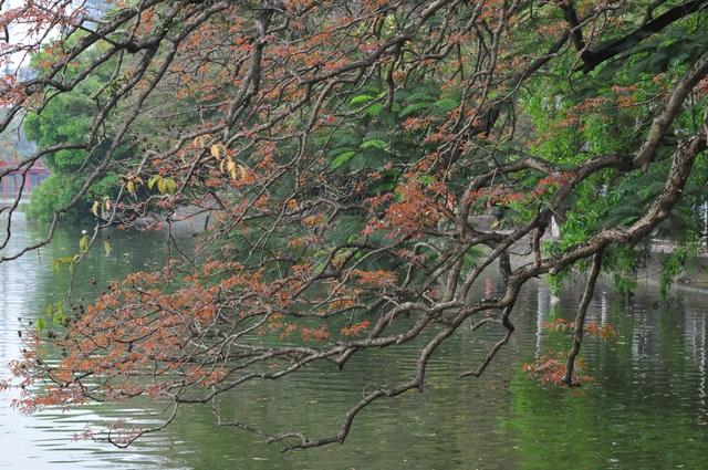 Dân chụp ảnh mê mẩn với cây bằng lăng huyền thoại bên Hồ Gươm đang thay lá - Ảnh 1.
