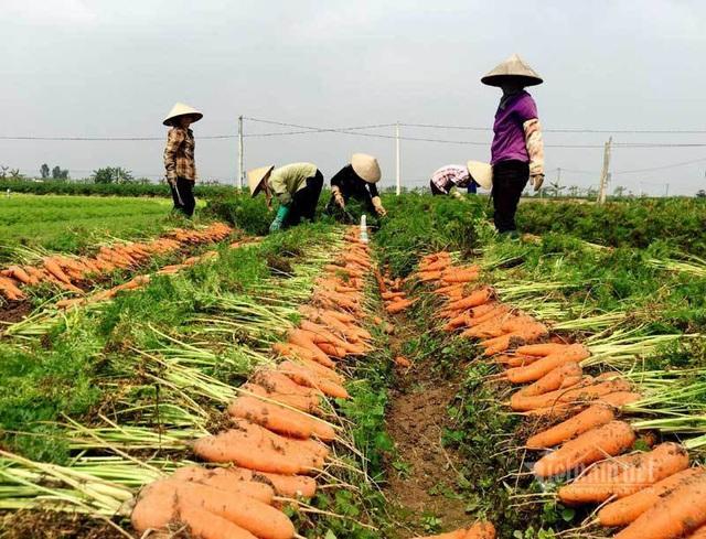 Nông dân kể chuyện chia nhau 100 tỷ trên cánh đồng rực đỏ - Ảnh 3.