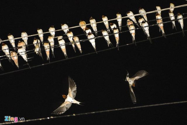Hàng nghìn chim én đậu kín dây điện giữa khu dân cư - Ảnh 2.