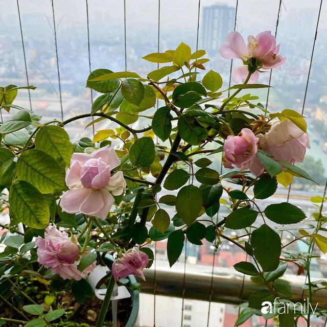 Mẹ Hà Nội chia sẻ bí quyết tự mua phụ kiện tạo nên vườn hồng đẹp mê ly ở ban công - Ảnh 2.