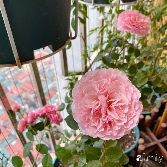 Mẹ Hà Nội chia sẻ bí quyết tự mua phụ kiện tạo nên vườn hồng đẹp mê ly ở ban công - Ảnh 14.