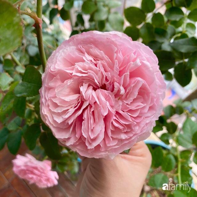 Mẹ Hà Nội chia sẻ bí quyết tự mua phụ kiện tạo nên vườn hồng đẹp mê ly ở ban công - Ảnh 16.