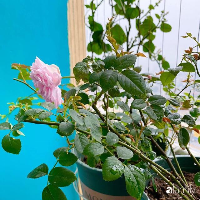 Mẹ Hà Nội chia sẻ bí quyết tự mua phụ kiện tạo nên vườn hồng đẹp mê ly ở ban công - Ảnh 3.