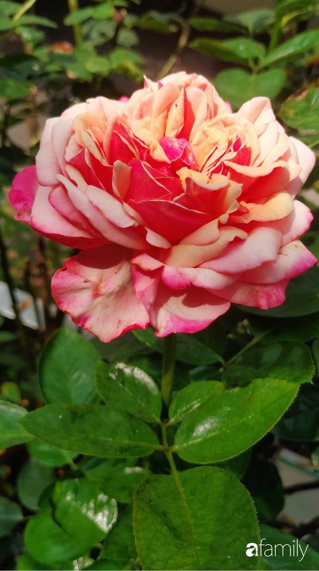Ngôi nhà đẹp yên bình, lãng mạn nhờ người đàn ông đảm đang tự decor vườn và trồng đủ loại hồng ở Sài Gòn - Ảnh 30.