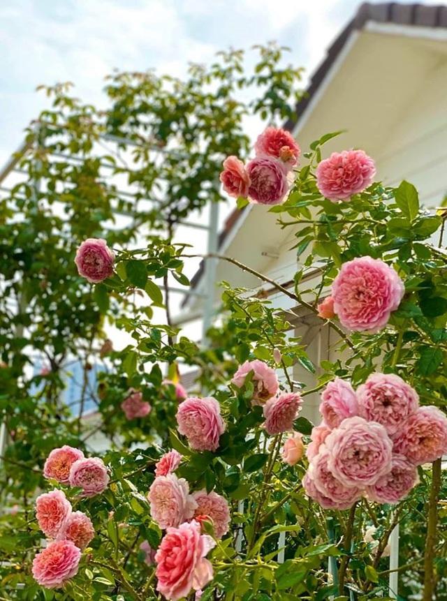 Ở nhà tránh dịch COVID-19 cả gia đình Quyền Linh thu hoạch bưởi mỏi tay trong khu vườn biệt thự - Ảnh 7.