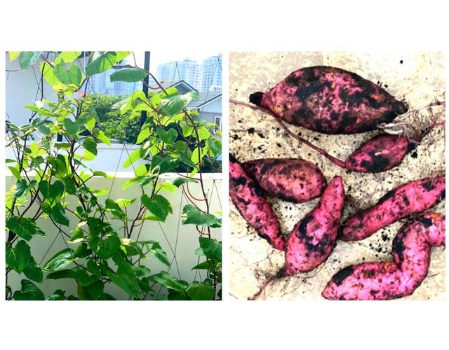 Ở nhà tránh dịch COVID-19 cả gia đình Quyền Linh thu hoạch bưởi mỏi tay trong khu vườn biệt thự - Ảnh 6.