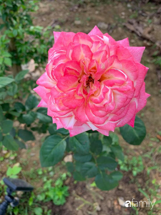 Ngôi nhà gần trăm năm tuổi bên cạnh khu vườn hoa hồng gói gọn những lặng lẽ, yên bình của xứ Huế mộng mơ - Ảnh 34.