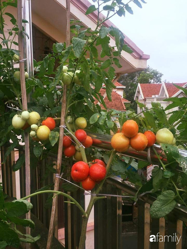 Mẹ đảm mát tay trồng đủ loại cây trái tốt tươi trên sân thượng ở Hà Nội - Ảnh 19.