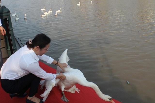Hải Phòng: Người dân kéo về sông Tam Bạc ngắm thiên nga  - Ảnh 1.