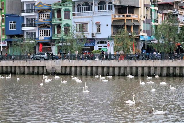 Hải Phòng: Người dân kéo về sông Tam Bạc ngắm thiên nga  - Ảnh 6.
