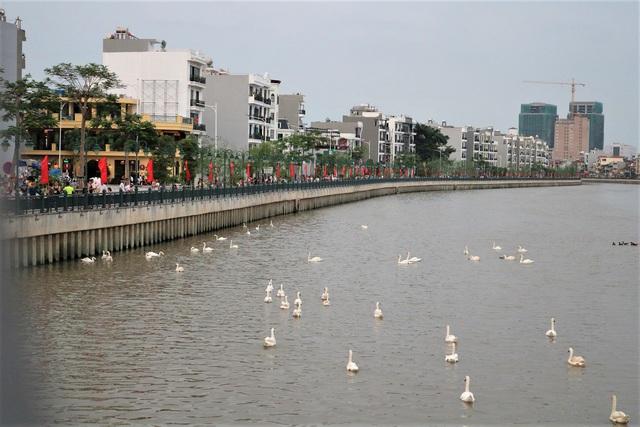 Hải Phòng: Người dân kéo về sông Tam Bạc ngắm thiên nga  - Ảnh 5.