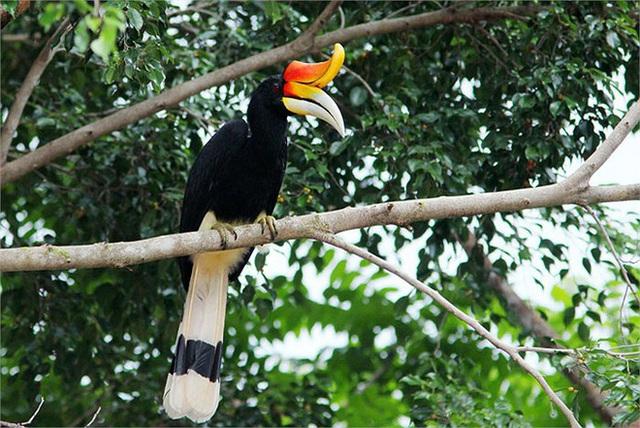 Phượng hoàng đất - loài chim đẹp như mơ bay lạc vào vườn của chàng trai trẻ - Ảnh 4.