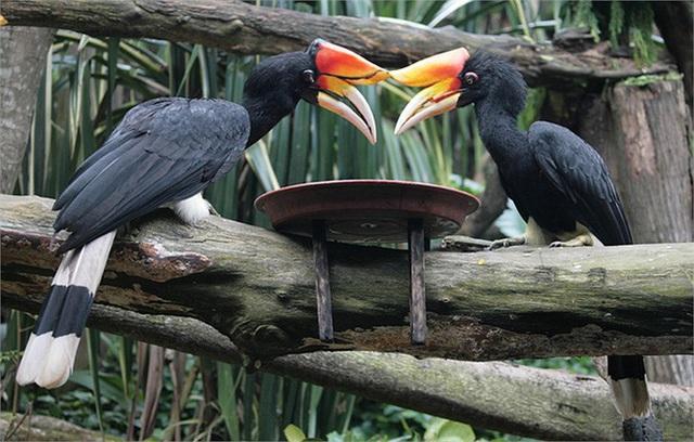 Phượng hoàng đất - loài chim đẹp như mơ bay lạc vào vườn của chàng trai trẻ - Ảnh 8.