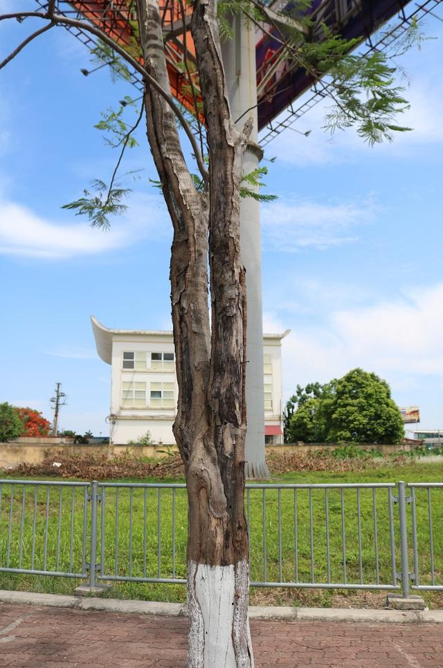 Giật mình với những cây phượng mục ruỗng giữa lòng thành phố Cảng - Ảnh 16.