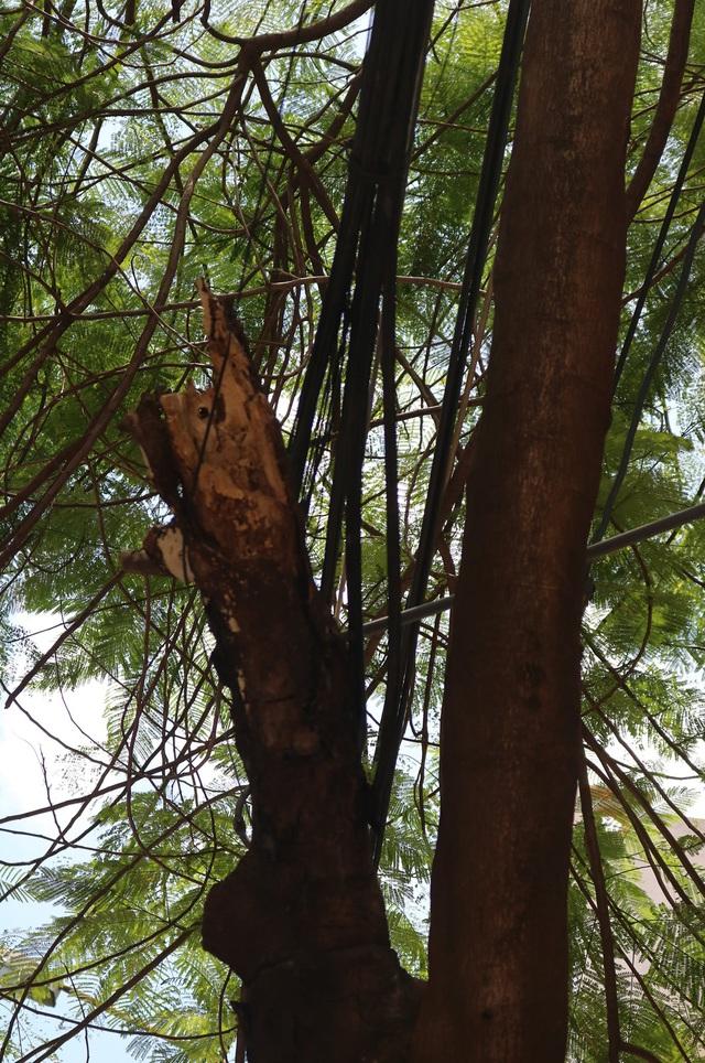 Giật mình với những cây phượng mục ruỗng giữa lòng thành phố Cảng - Ảnh 2.